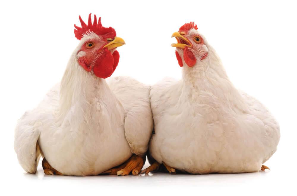 Eubiotyki czyli skuteczna alternatywa dla antybiotykow w zywieniu drobiu