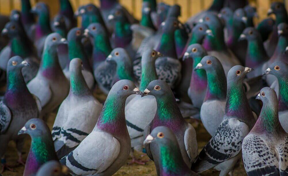 Probiotyki w hodowli golebi i drobiu ozdobnego