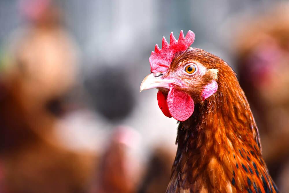 Chow drobiu bez antybiotykow – zalety rozwiazania